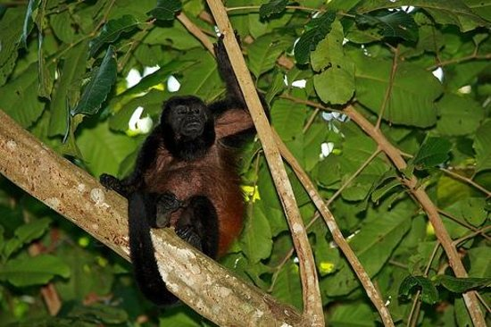 Casa Bambu: howler monkey hangs out in an almond tree