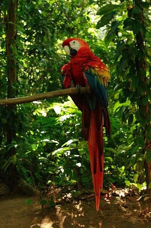 Casa Bambu: scarlet macaws abound in our almond trees