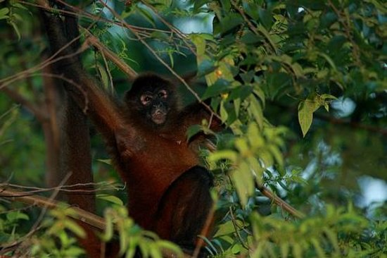 Casa Bambu: a spider monkey relaxing