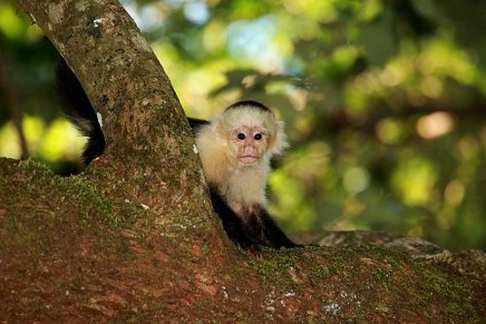 Casa Bambu Resort : a curious white faced monkey