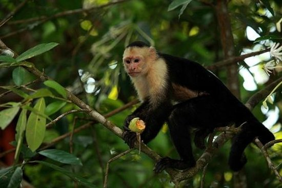 Casa Bambu Resort: white faced monkey (capuchen)