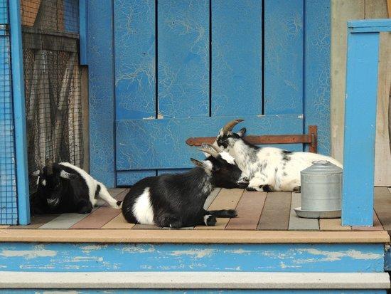 Hatfield & McCoy Dinner Show: goats