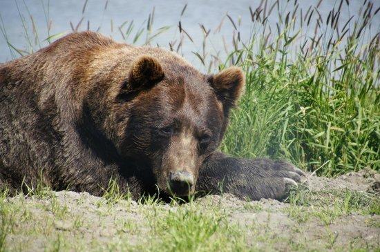 Alaska Wildlife Conservation Center: Brown Bear