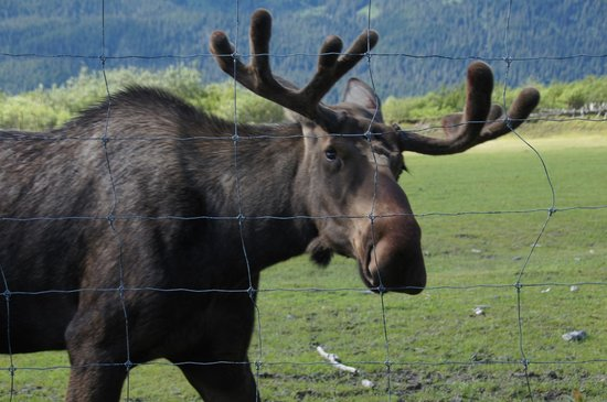 Alaska Wildlife Conservation Center: Moose
