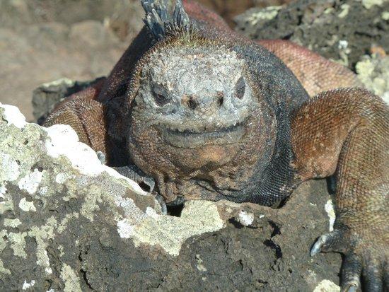 Las Loberias: Iguana marina