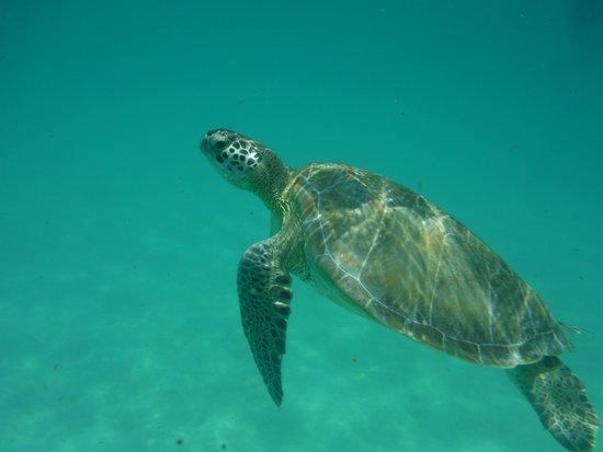 Barcelo Maya Colonial: Sea Turtles on the Resort