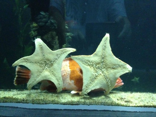 Aquarium of the Bay : Fish hiding behind starfish