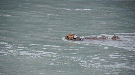 Alaska Saltwater Lodge Small Group Whale Watching, Wildlife & Glacier Tour : sea otter