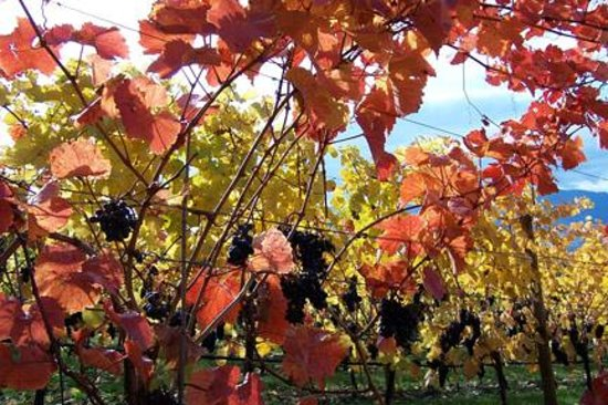 Riddle Road Retreat: Fall grapes ready to pick.