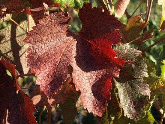 Riddle Road Retreat: Beautiful Fall Merlot leaves.