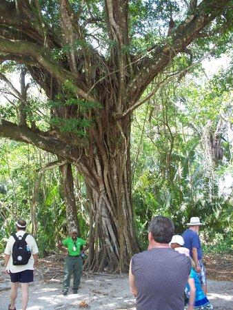 Maya-Ruinen von Altun Ha: Altun Ha Ruins - magnificent tree
