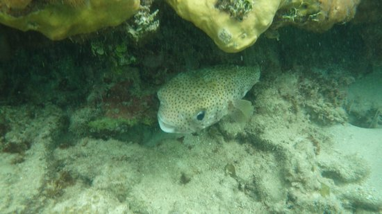 Secrets Wild Orchid Montego Bay: Porcupine / blowfish