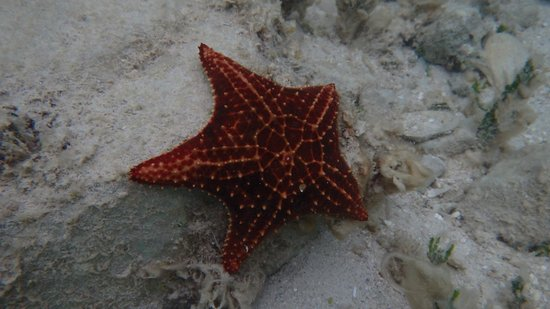 Secrets Wild Orchid Montego Bay: Starfish my wife spotted while snorkeling