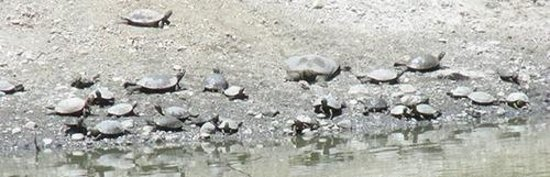 Overfelt Gardens: Red-eared sliders and softshells basking along the bank of the drying pond