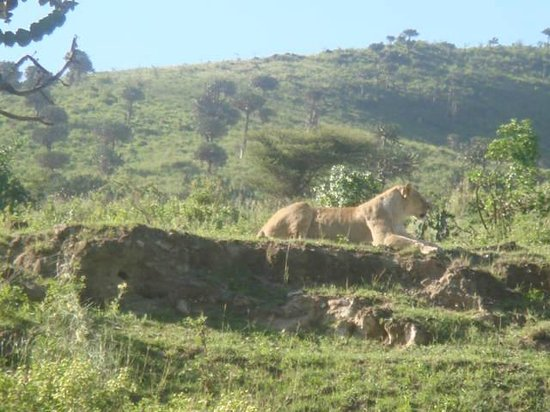 Kilimandscharo-Massiv (Kilimanjaro): In the safari