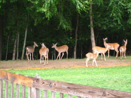 Cove Haven Resort: Deer feeding