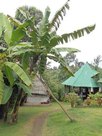 Songota Falls Lodge: banana tree and dining room