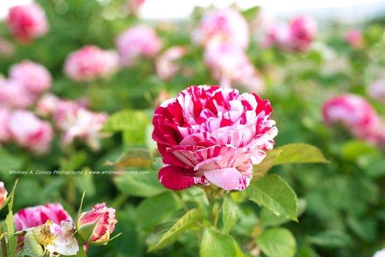 El Paso Municipal Rose Garden: Pink Rose