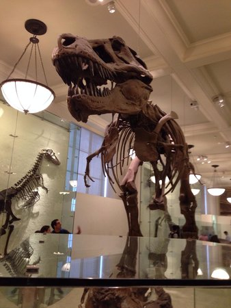 "American Museum of Natural History : A must see T-Rex, contributed by ""Mister Bones""."