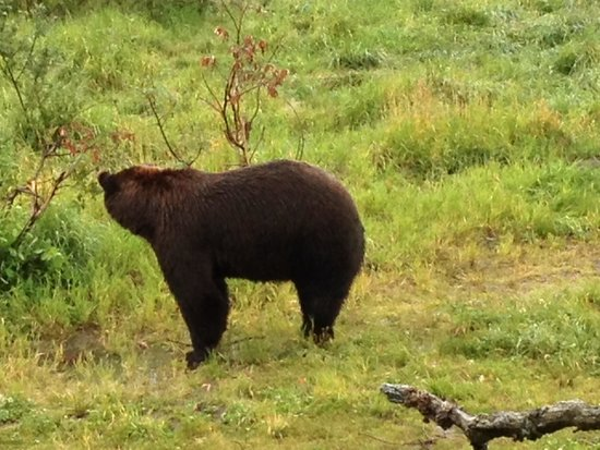 Alaska Wildlife Conservation Center: Brown bear
