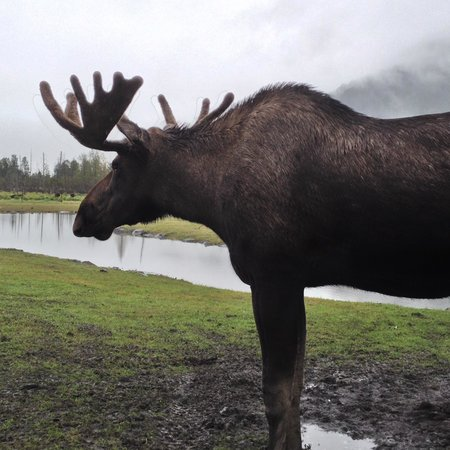 Alaska Wildlife Conservation Center: Moose up close