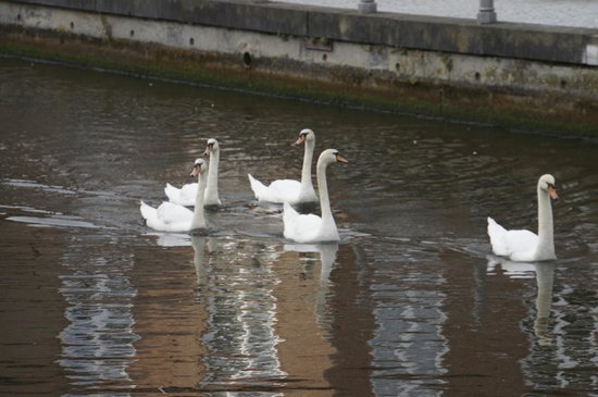 Adornes: Swans were swimming in the canal in front of the hotel