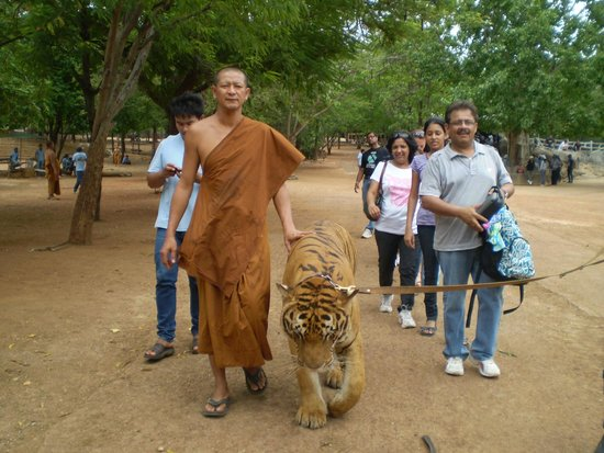 Tiger Temple Thailand Tour : The Monks care for the Tigers...