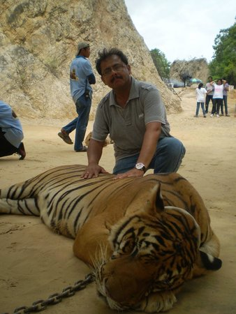 Tiger Temple Thailand Tour : With the Big Cat...