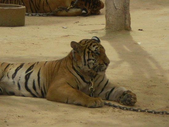Tiger Temple Thailand Tour : The Grand big cat ...
