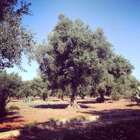 B&B Pietrafitta: Gli ulivi che circondano la tenuta