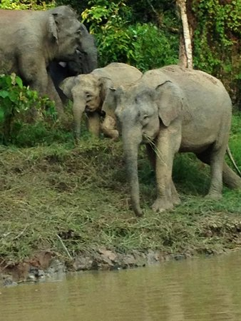 Borneo Nature Lodge: Just one of the hundreds of photos of the elephants we saw