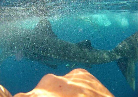 Privilege Aluxes: Whale Shark Swim