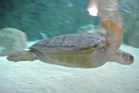 Tortue picture of aquarium de biarritz biarritz for Aquarium tortue