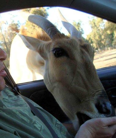 Safari Park: Живая природа сама в машину залазит!