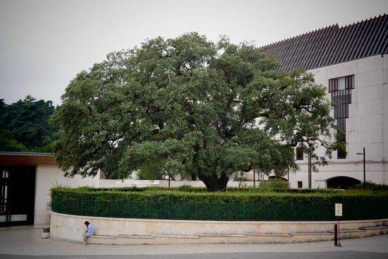 the tree of the apparition picture of basilica de nossa senhora de