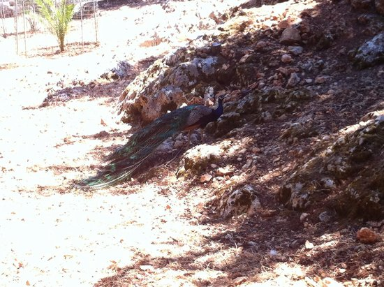 Askos Stone Park: Παγώνι