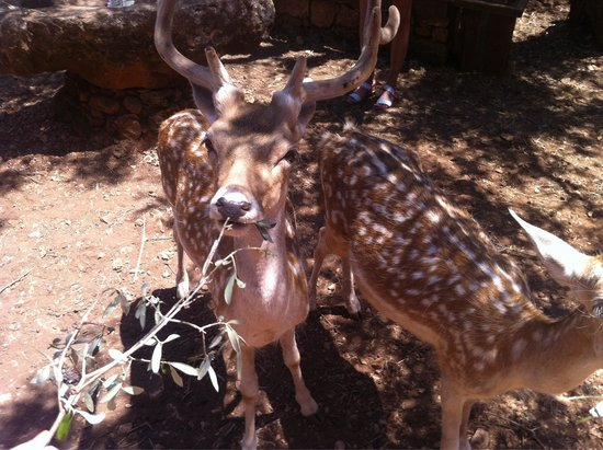 Askos Stone Park: Ταΐζοντας τα ελάφια