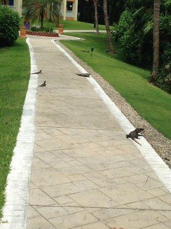 Grand Bahia Principe Coba : iguana City!
