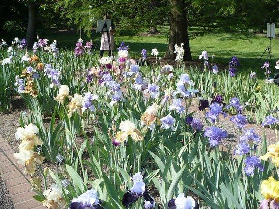 Missouri Botanical Garden: in the iris  garden