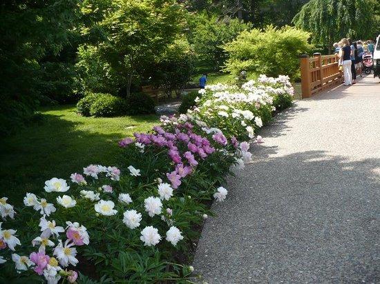 Missouri Botanical Garden: rows of peonies in bloom