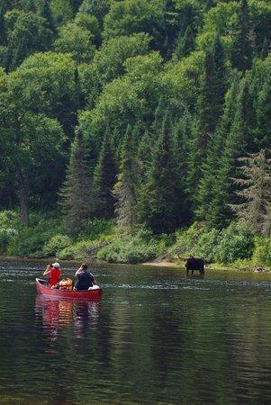 Parc national de la Jacques-Cartier: Moose