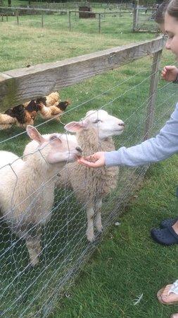 Thrift Farm: Sheep