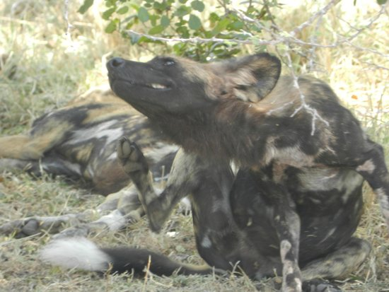 Selous Game Reserve : Wild dogs
