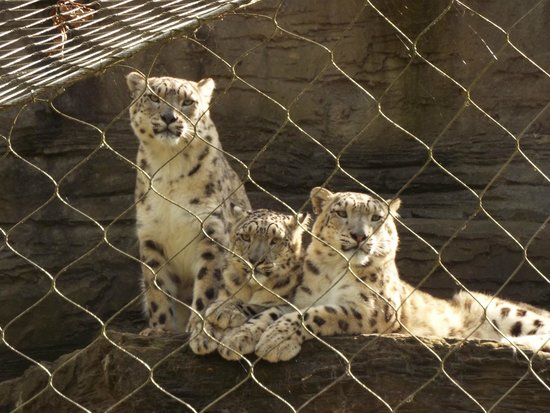 Marwell Zoo: 3 Snow Leopard Cubs possibly about 9/10 months old