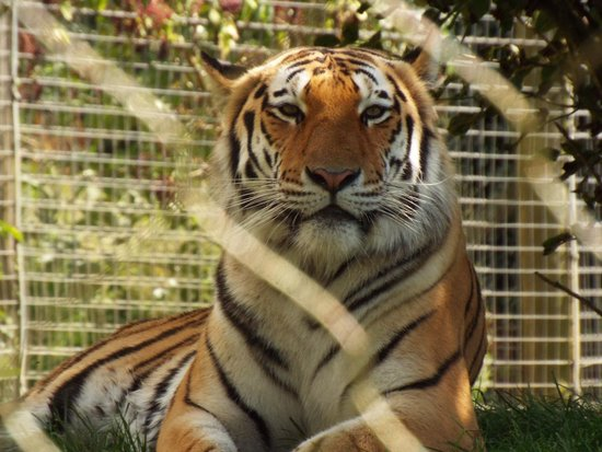 Marwell Zoo: A very handsome Male Amur Tiger
