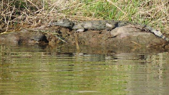 Kariba Bush Club: Crocodile