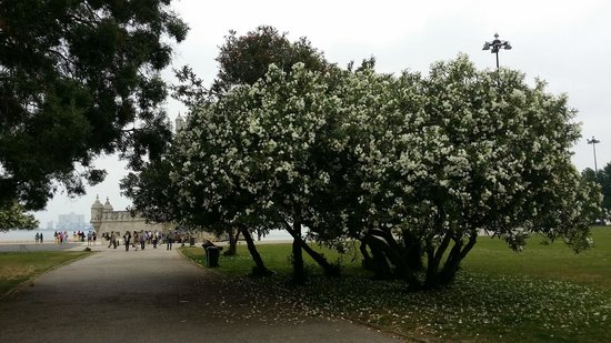 Torre de Belem: lovely tree with plenty of white flowers