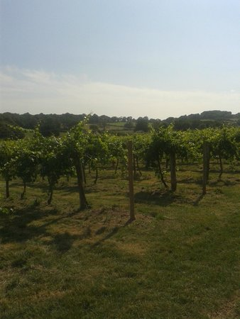 Rosemary Vineyard: The vines