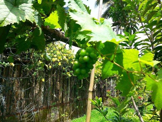 Abad Whispering Palms Lake Resort: Grapes plantation