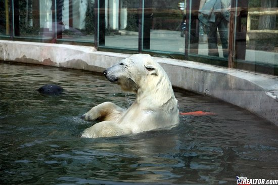 Prague Zoo: белый медведь